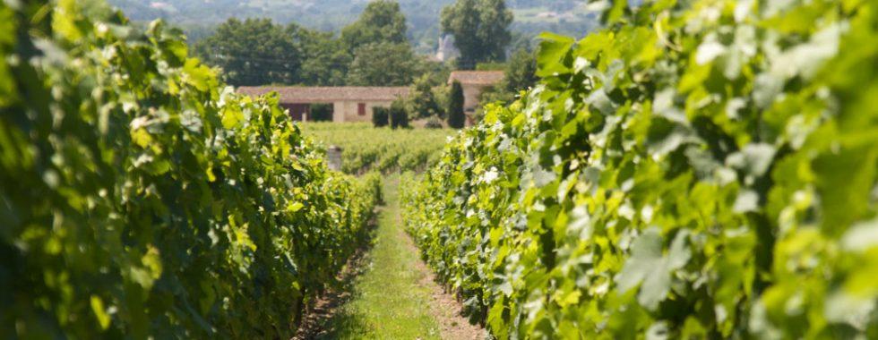 Vignes-c-Julien-Menichin